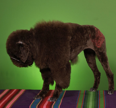Because it is every poodle's dream to be decorated as a smelly bison that makes great burgers.